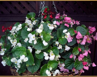 Begonia (Begonia Semperflorens Mix) Choose Your Color~Rose Pink,White,Red Or Mix Color