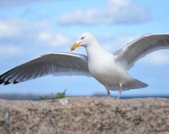 Nautical Decor, Salem, Seagull Photography, Seagull Print, Seagull Decor, Bird Photography, Bird Print, Bird Decor