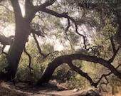 Tree Photo, Surreal Trees, Live Oak Tree Art, California Nature, Forest photo, Instant Digital Download, Printable JPEG file, Orange County