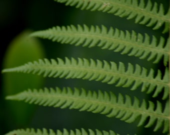 Ferns in the Yard