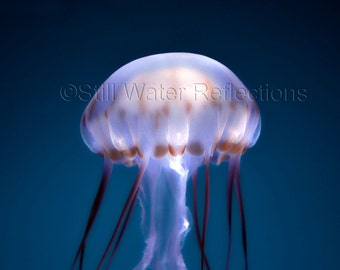 Jellyfish 1 Photo Print Mounted and Ready to Hang