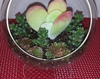Succulent Plant Glass Pedestal Terrarium DIY Complete Kit with Three Succulent Plants.