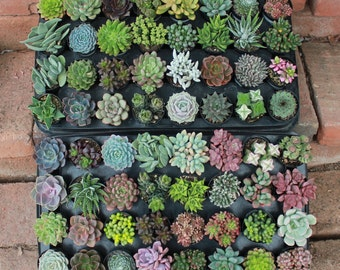 """SAMPLE 5 Assorted Succulents in 2.5"""" containers Collection plastic pots succulents great for WEDDING FAVOR & gifts or samples+"""