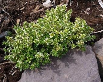 "Lemon Creeping Thyme Plant - Smells Like Lemon/Tastes Like Lemon - 3"" Pot"
