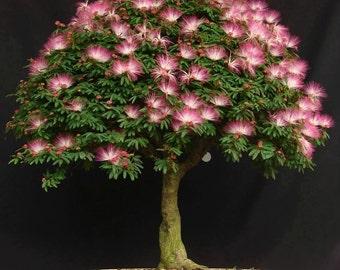 7 Mimosa (Albizia Julibrissin) Seeds, Fresh Exotic Bonsai Seeds, Rare Bonsai Seeds