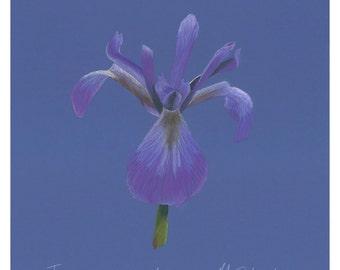 Original pastel drawing of an iris