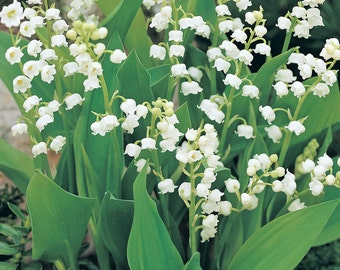 10 'GIANT' Lily Of The Valley ~Woodland Garden ~Winter Hardy Perennial SHADE ground cover WOODLAND live plants/pips