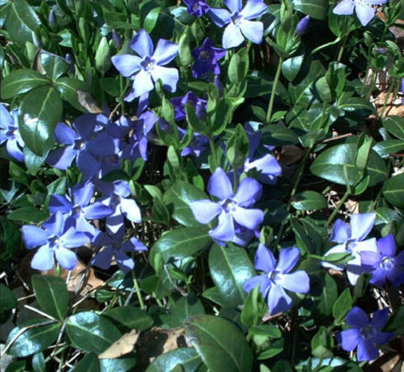 Perennial Vinca Vine 30 Live Plants Rooted Cuttings