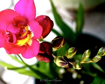 Bright Pink Freesia