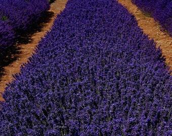3 Hicote Blue Lavender/ Angustifolia in 4 Inch Pots