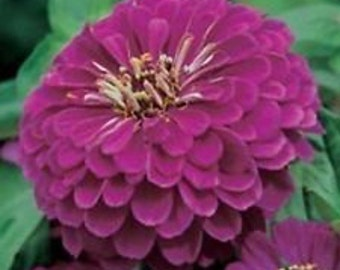 Purple Prince Zinnia  Flower Seeds / Yoga /Annual 35+