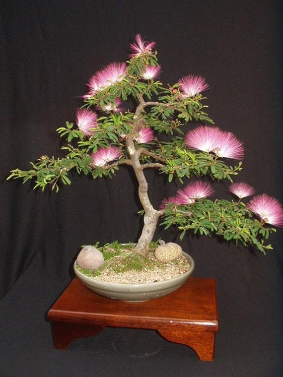 Albizia soie mimosa bonsa perse rose soie arbre 10 graines for Taille d un albizia