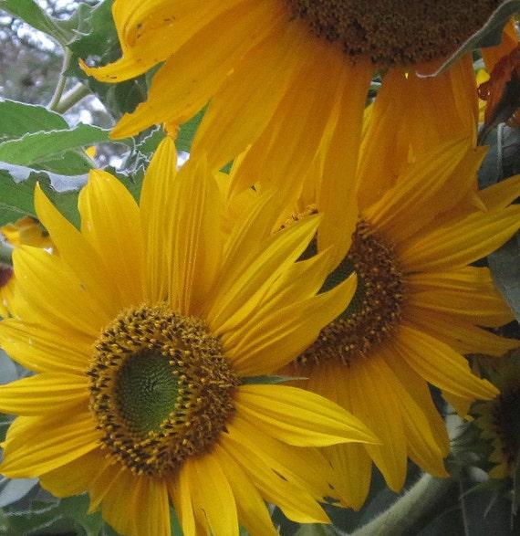 Sunflower: multi-branching California native