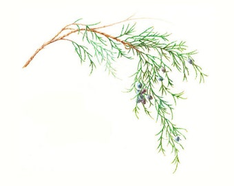 "Botanical print, ""Eastern Red Cedar"" from original watercolor by Helen H. Conrad.  Greeting cards also available."