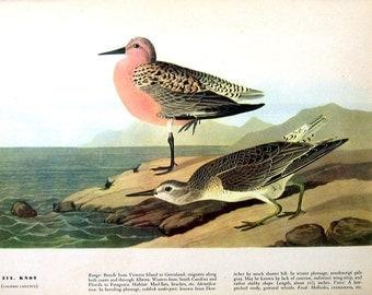 Knot, Water Turkey - Audubon Bird Print -12 x 9 - 1942 Vintage Book Page