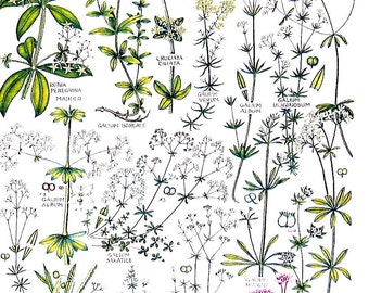 British Flowers - Wild Madder, Northern Bedstraw, White Bedstraw, Sweet Woodruff - Vintage Botanical Print -Book Page - 39