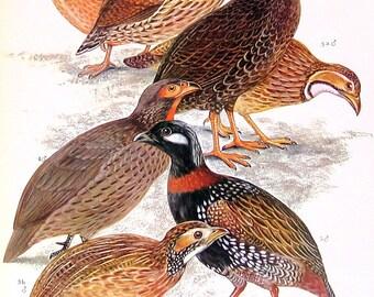 Cameorun Mountain Francolin, Orange River Francolin, Swainson's Francolin - 1973 Vintage Bird Print - Encyclopedia Book Page - 10 x 7