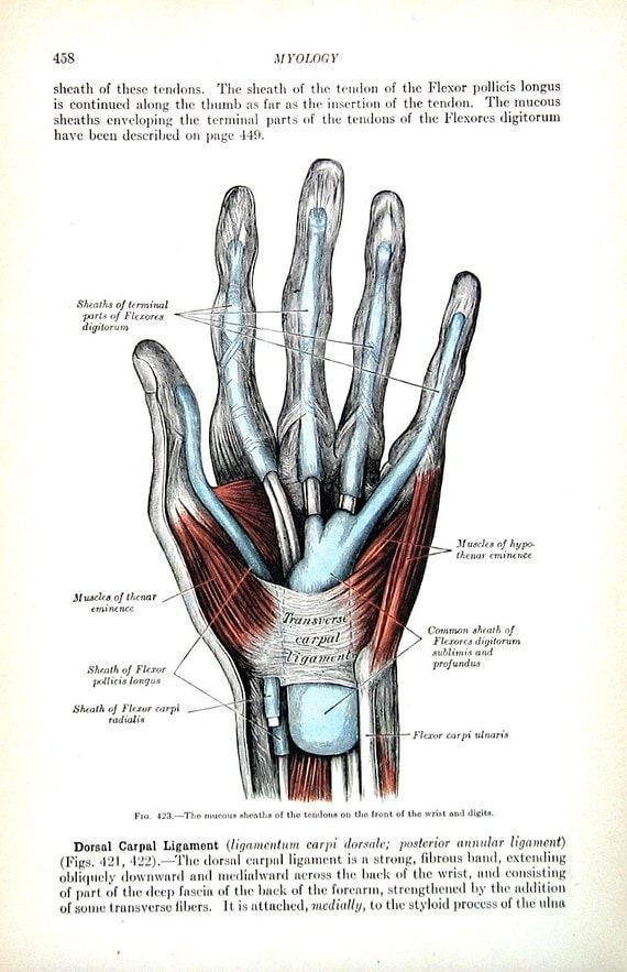 Großartig Sehnen Der Hand Und Des Handgelenks Anatomie Fotos ...