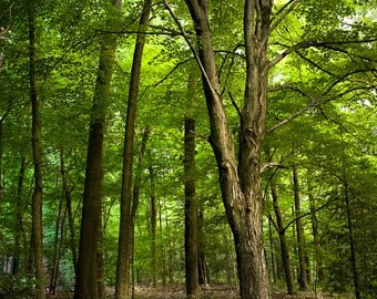 The Woods, Nature Photography, Trees, Enchanted Forest, Print, Color Photograph, Fine Art, Free Shipping