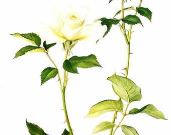 Vintage Flower Print - Botanical Print - White Rose Print - White Rose Flower - The Language of Flowers - Flower Wall Art - Marilena Pistoia