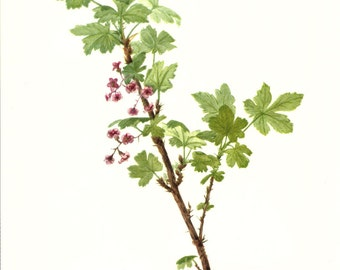Flower Print - Prickly Currant - Vintage Art Print - Botanical Book Plate, Print - Wild Flowers of America - Saxifrage - Mary Vaux Walcott