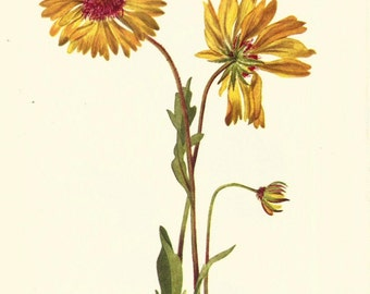 Flower Print - Perennial Gaillardia - Vintage Wild Flowers Print - Botanical Print - Wild Flowers of America - Golden Star - Mary V Walcott