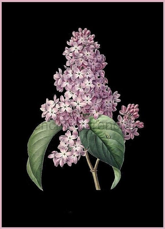 Antique French Illustration Botanical Print Purple Lilac Bush