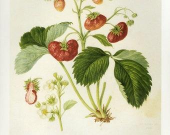 Strawberries Print by Hooker Book Plate SALE, Buy 3 get 1 free
