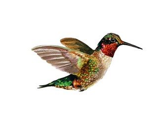 Hummingbird - Ruby Throated hummingbird print