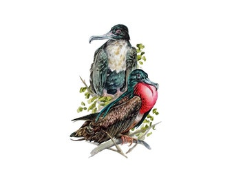 Frigate Birds - Archival print of a pair of Frigate birds from the original watercolor
