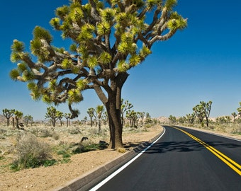 Joshua Tree along the Desert Road in Joshua Tree National Park in Southern California No.373 - A Fine Art Landscape Photograph
