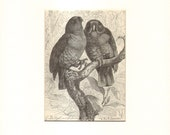 1892 Antique Matted Engraving of the Eclectus Parrot