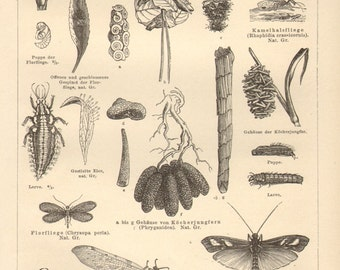 1890 Original Antique Engraving of Insects, Neuroptera, Net-winged Insects, Common Scorpionfly, Snakefly, Green Lacewing, Caddisfly, Antlion