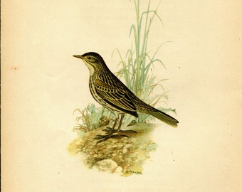 1942  Vintage Birds Print, Correndera Pipit Illustration,  Anthus correndera, South American Birds, Ornithology