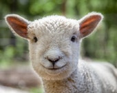 Lamb photo, sheep, farm photo, animal photo, nature photography, nursery art - 8x10 fine art photograph