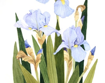 Iris Watercolor Painting Reproduction by Wanda's Watercolors