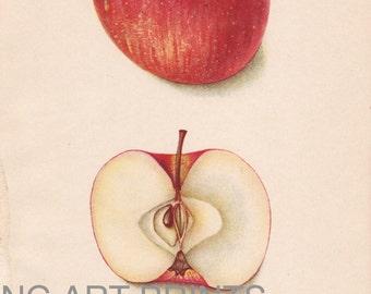 1900s Antique Apple Print, Fruit Print, Antique Fruit Print, Vintage 1900s Botanical Print, USDA, Bertha Heiges, Fruit Print