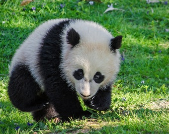 """Bao Bao, National Zoo: 7""""x10"""" archival print signed and matted in 11""""x14"""" matte"""