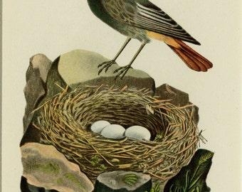 "MattedbAntique Bird Print Nest Print C. 1920 German Chromolithograph  9x12"" Vintage Decor"