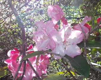 Shadows and sunlight on pink rhodadendron blossoms