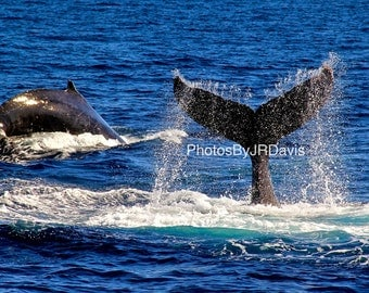 Breaching Whales in Sea of Cortez (Photo on Canvas)
