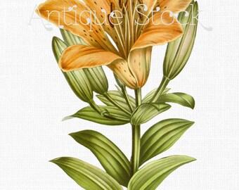 Flower Digital Collage Sheet - Orange Lily Digital Download 1877 for Scrapbooking, Collages, Crafts, Invites, Cards, Wall Art...