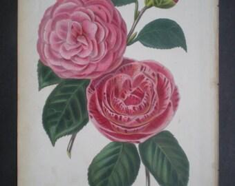 Antique Flower Print of Camellias circa 1875