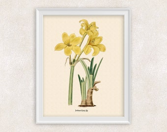 Yellow Lily Botanical Illustration - 8x10 PRINT Flower Art Print - Perfumed Fairy Lily - Flower Wall Art - Home and Garden - Item #103