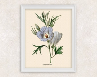 Blue Hibiscus Botanical Art - 8x10 PRINT Alyogyne Flower - Antique Flower Art - Home and Garden - Antique Wall Art - Item #110