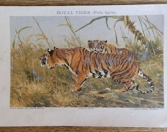 Vintage Colour Print of the Royal Tiger (Felis tigris), c1900
