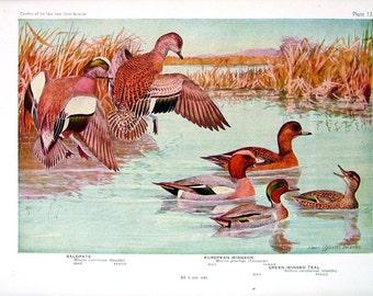 Baldpate, Shoveller - Bird Print - 1936 Vintage Book Page - 8 x 11