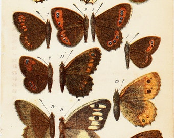 1890 Antique BUTTERFLY print, yellow and brown butterflies, diurnal