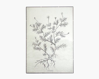 Camomile - botanic plant illustration canvas print poster  50cm x 70cm -CAMP2001