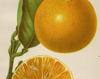 """Matted  Antique Fruit Print  Orange  C. 1893 U.S. Department of Agriculture Botanical Oranges 11x14"""""""